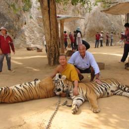 Nel Tempio delle Tigri Thai,  il brivido di una carezza