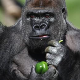 Quei giorni fra i Gorilla,  scimmioni dal volto umano