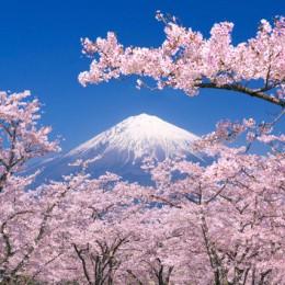 Il Giappone delicato  dei ciliegi in fiore