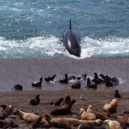 Penisola Valdes, le orche  e i cuccioli di leoni marini